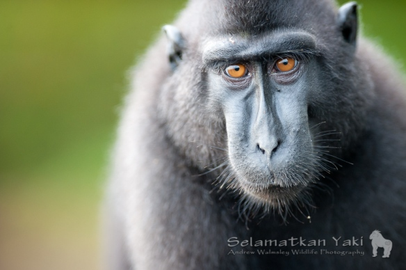 The incredible Sulawesi crested black macaque