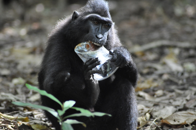Many people leave their garbage in Tangkoko Nature Reserve. Unfortunately, the Yaki and other animals eat this which causes illnesses. I would like to make people aware of this problem, and the other threats to Yaki, and how we can prevent these situations from happening.