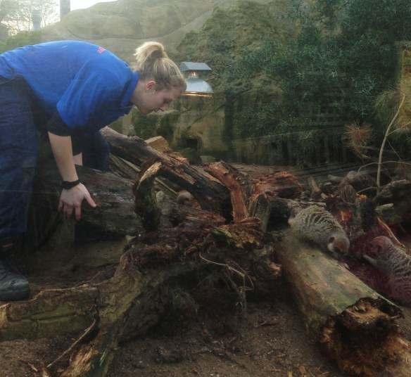 Saya sedang melakukan penyuburan dikebun binatang dimana Saya bekerja. Me giving enrichment to the meerkats in the zoo where I work.