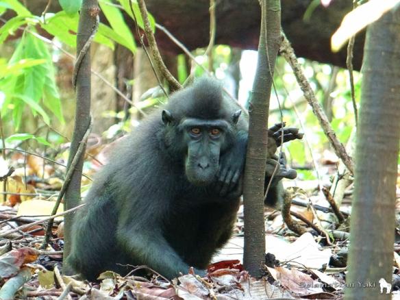 Yaki dalam kelompok keluarga di Cagar Alam Tangkoko, salah satu tempat terakhir yang tersisa untuk mereka hidup di alam liar. Yaki in a family group in Tangkoko Nature Reserve, one of the last remaining places they live in the wild.