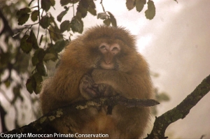 Barbaries and Yaki are very intelligent and social monkeys. They live in big groups and spend most of their time with foraging, social behaviour such as grooming and resting.