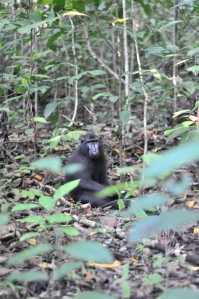First pic of yaki on my camera in Tangkoko National park. - Foto yaki paling pertama dari kamera saya di TWA Tangkoko.
