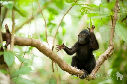 The Sulawesi crested black macaque, locally known as yaki, is a charismatic primate which only occurs in North Sulawesi, nowhere else in the world!