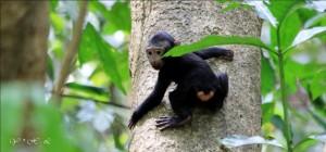 Bayi Yaki (Macaca nigra)
